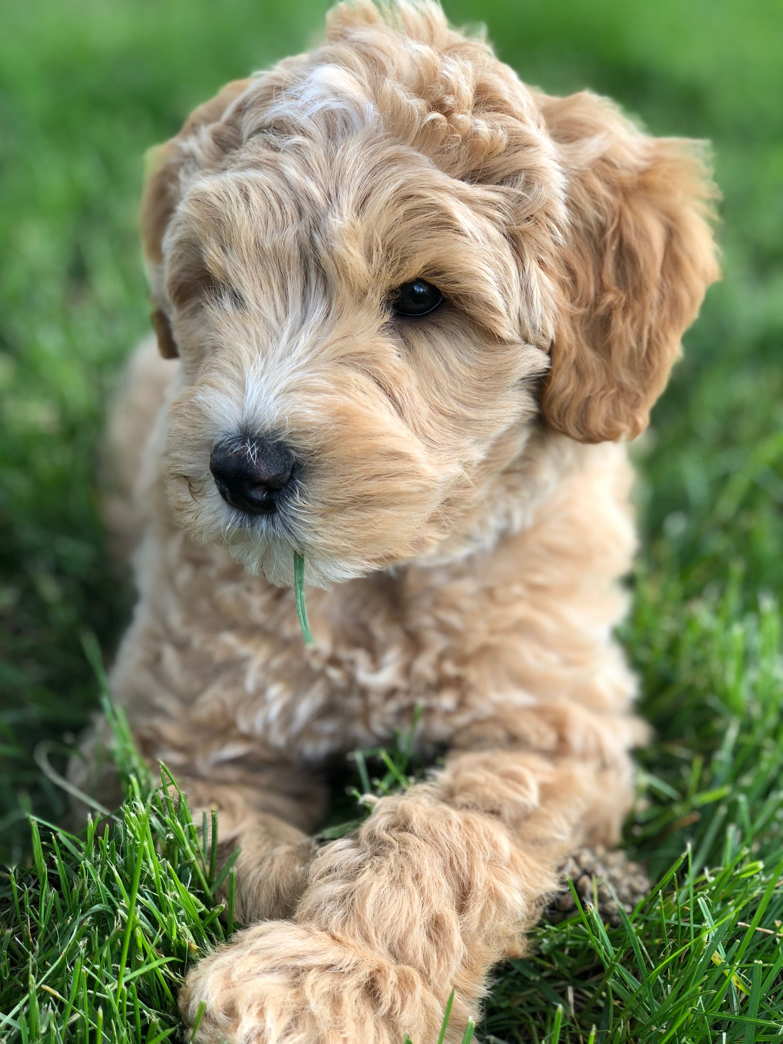 Puppies for sale australian labradoodle