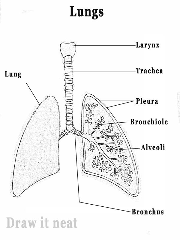DRAW IT NEAT: How to draw Lungs diagram | Drawing