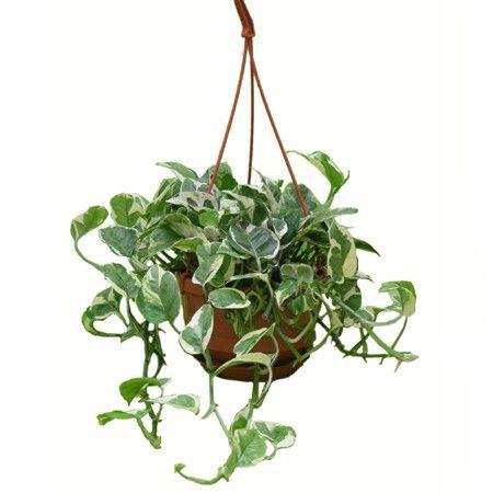 Scindapsus 39 enjoy 39 plantes et jardins plantes for Plantes vertes retombantes