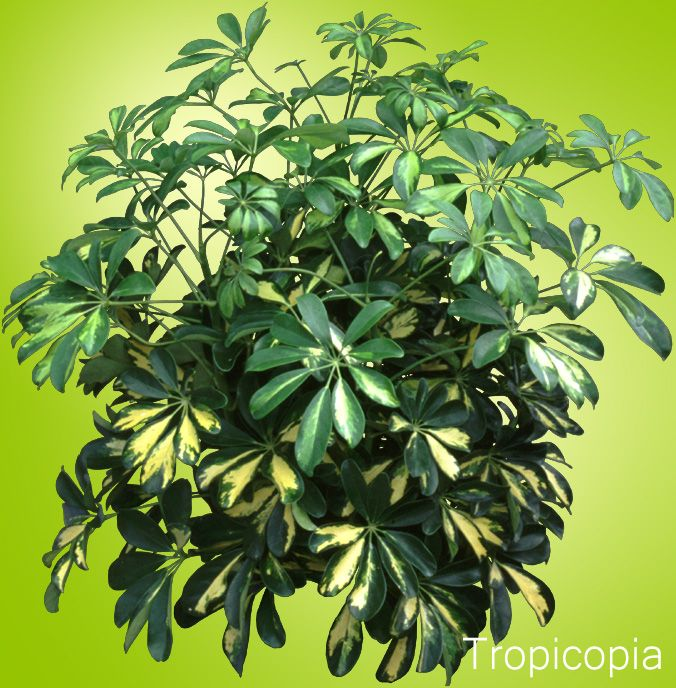 small green and yellow leaves on hawaiian schefflera - House Plant Identification By Leaf