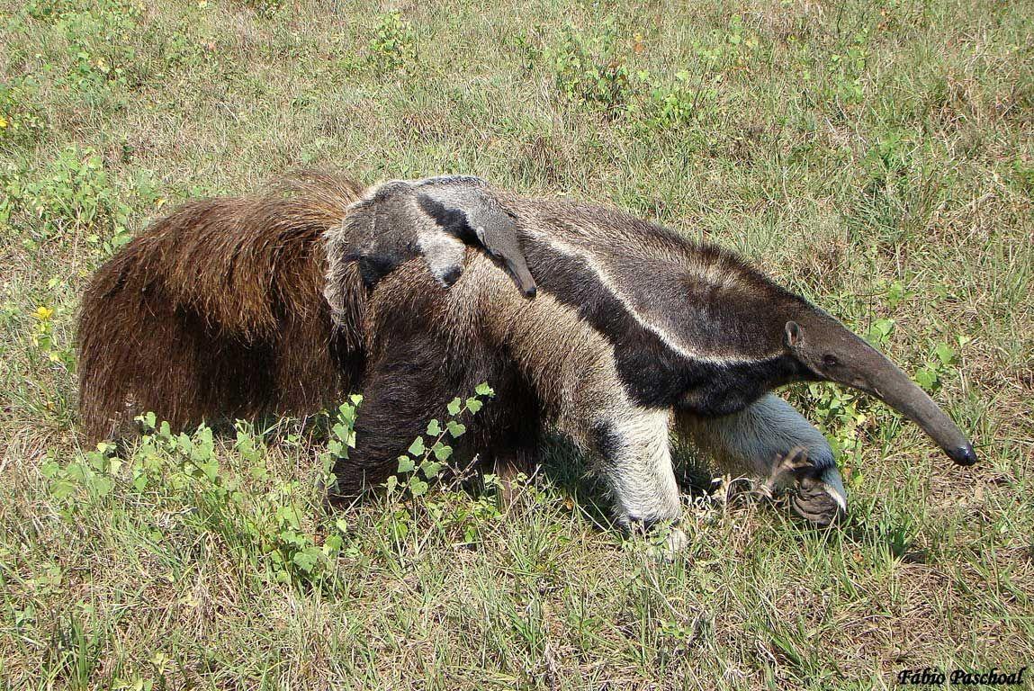 Alguns Animais Ameacados De Extincao No Brasil Com Imagens