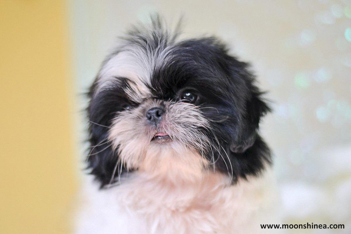 Moonshinea Shih Tzu Shih Tzu Shih Tzu Puppy Shih Tzu Lover