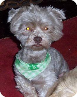 Anderson Sc Shih Tzu Mix Meet Yo Yo A Dog For Adoption Kitten Adoption Dog Adoption Pets