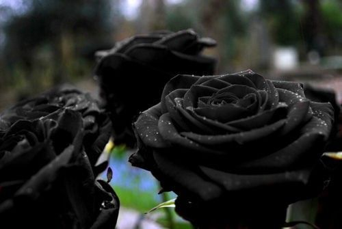 Omg I love Black roses. So romantic ^_^
