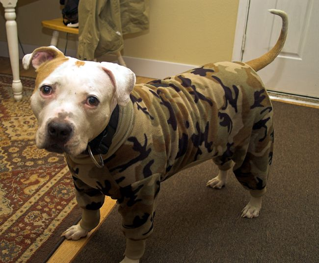 Dog Blanket For Car >> Creations by Ginger: custom made pitbull long johns, sweaters and vests! Violet is getting these ...