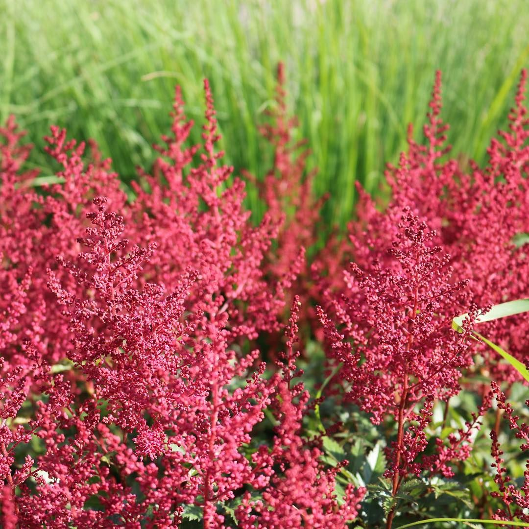 Back To Color Astilbe Loves Everything In Moderation A Little Bit Of Sun Is Great Shade Yes But Not Too Deep Moist But Not In 2020 Astilbe Purple Flowers Spirea