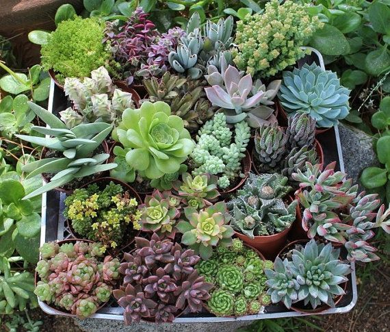 Nine Assorted Succulents In Their 4 Inch Plastic Containers Wedding Shower Favors Party Gifts Plants Succulent Jardins Succulentes Jardinage