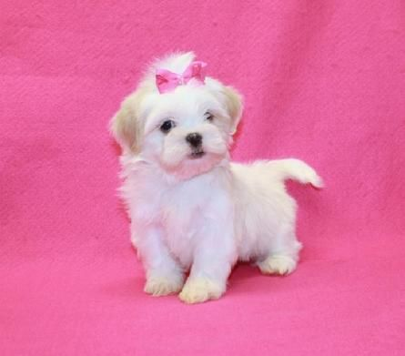 Shih Tzu Puppies At Yorkiebabies Com 1650 All White With Cream
