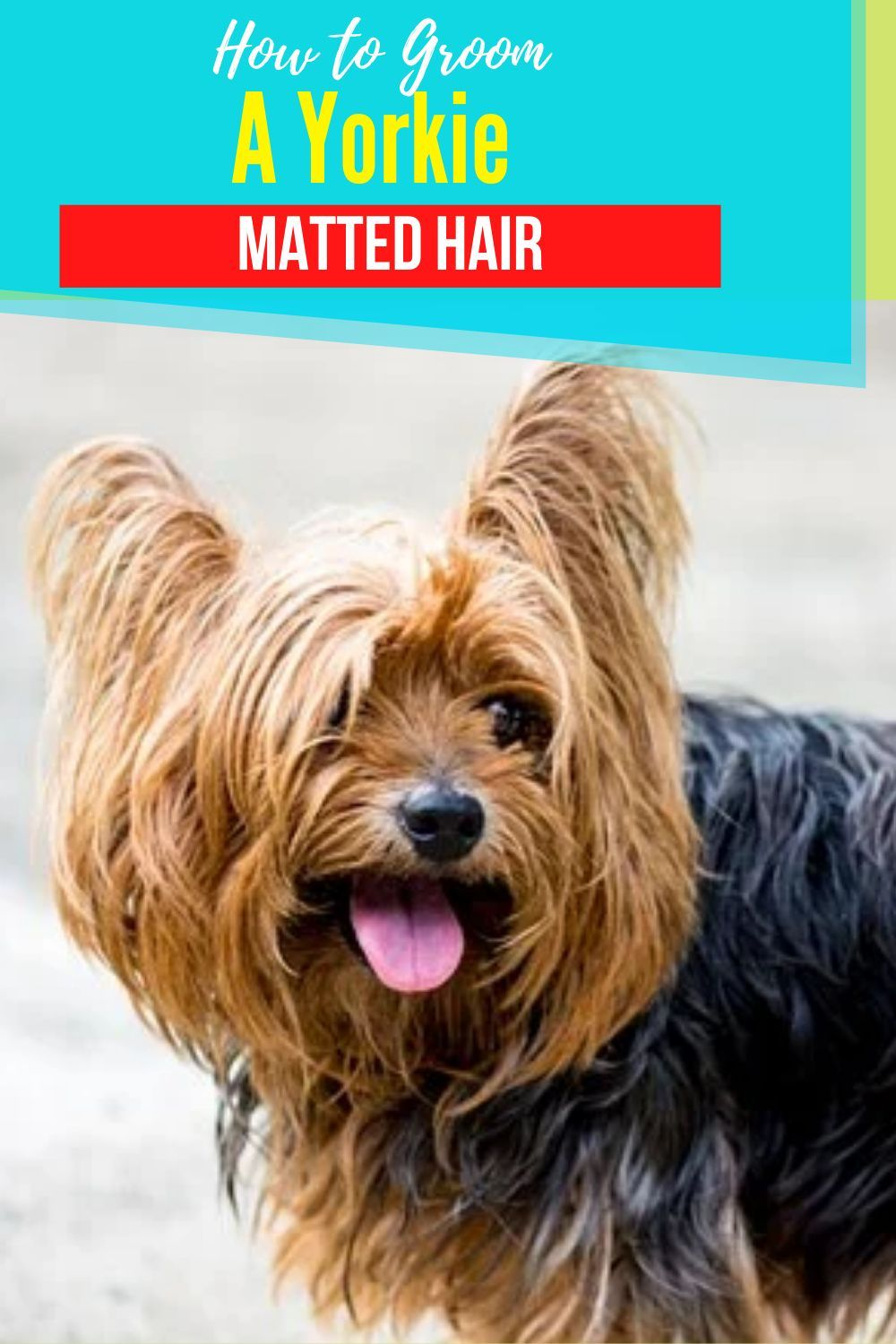How to groom a yorkie with matted hair yorkshireterrier