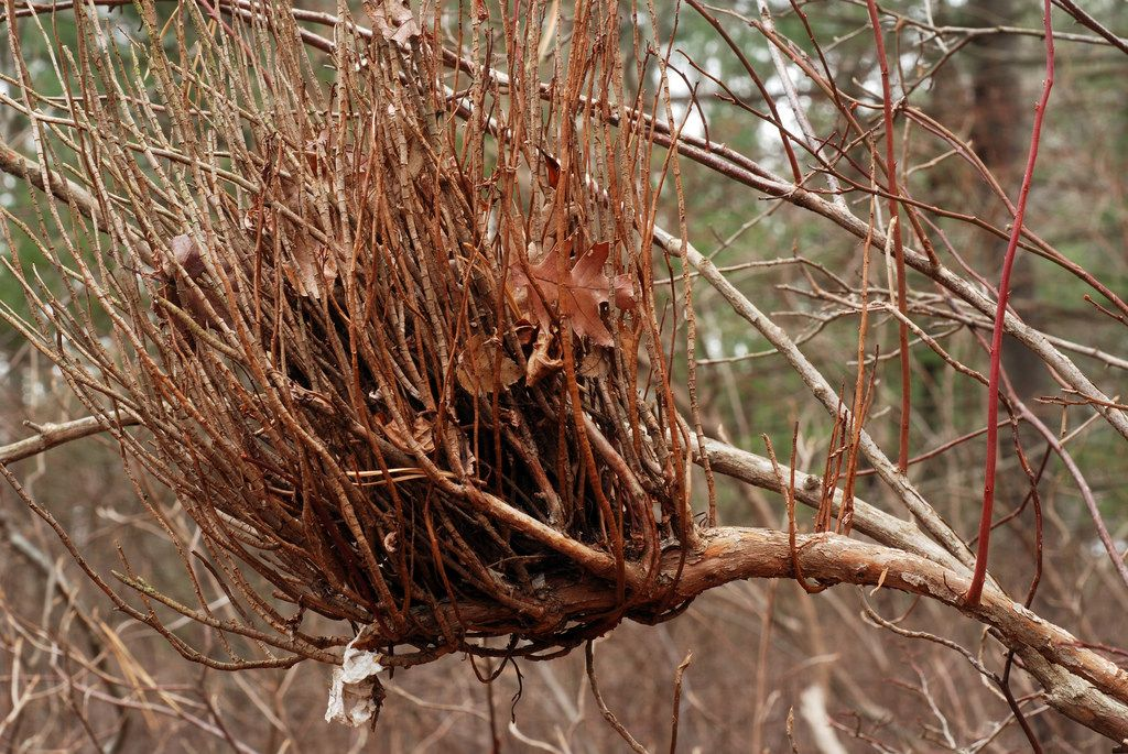 Witches Broom Fungus Affecting Blueberries And Firs Garden Tools Witch Broom Garden Care