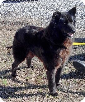Somerset Ky Border Collie Flat Coated Retriever Mix Meet Baby A Dog For Adoption Http Www Adoptapet Com Pe Border Collie Mix Dog Adoption Border Collie