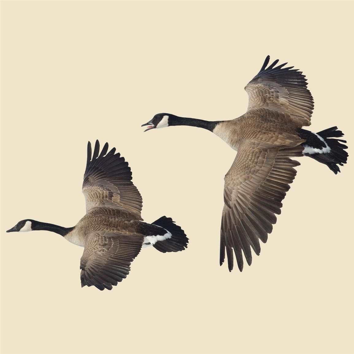 Flying Canada Goose Indoor Wall Graphic 2 Geese Left Facing