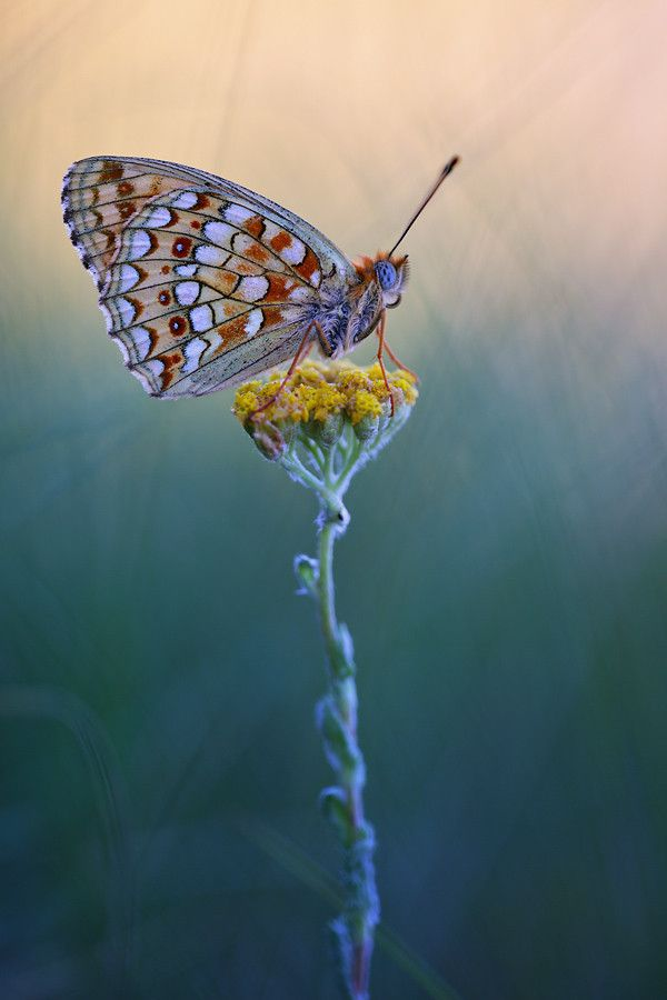 High Brown Fritillary by Christian Rey