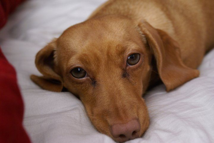 Brown Nosed Dachshund My Girl Had A Brown Nose And Golden Eyes