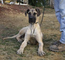 Adopt Finn On Great Dane Puppy Great Dane Dogs Great Dane