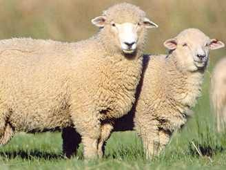 pareja de oveja