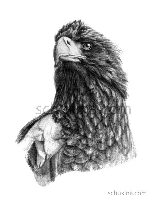 Steller S Sea Eagle G2013 073 Steller S Sea Eagle Eagle Drawing Sea Eagle