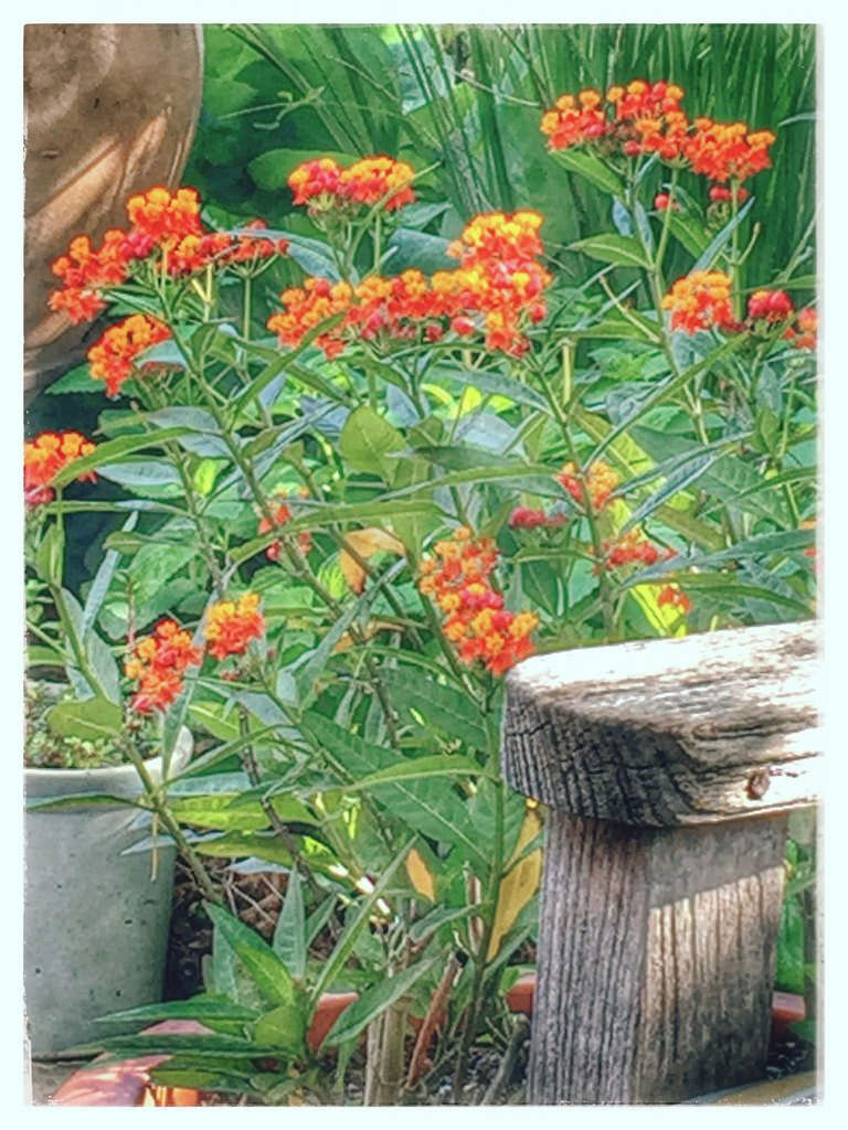 butterfly weed milkweed flower plant garden fort worth texas upp89