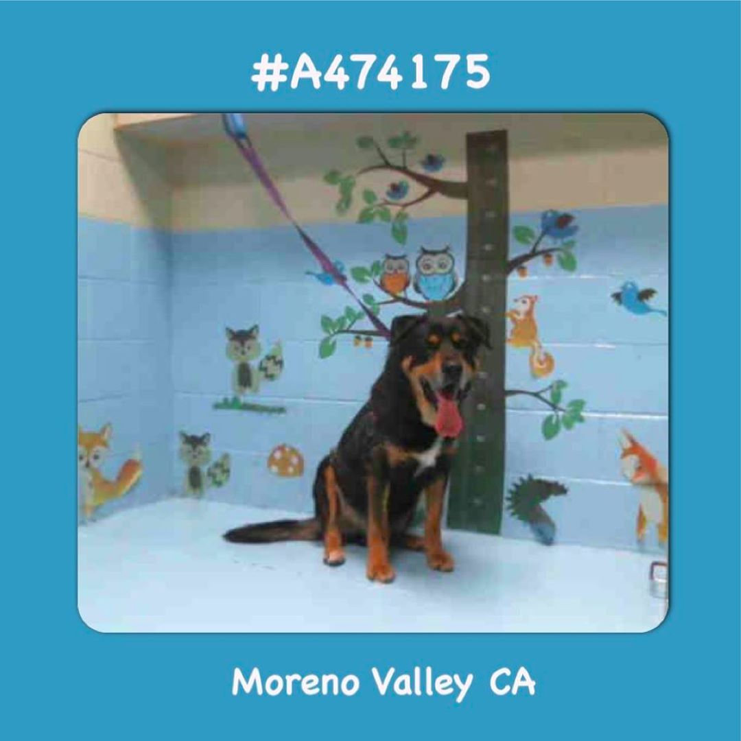A474175 Moreno Valley Ca Male Black And Tan Rottweiler And German