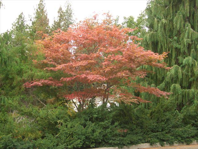 Acer Palmatum Amagi Shigure Height 6 To 10 Ft Width 6 To 10 Ft