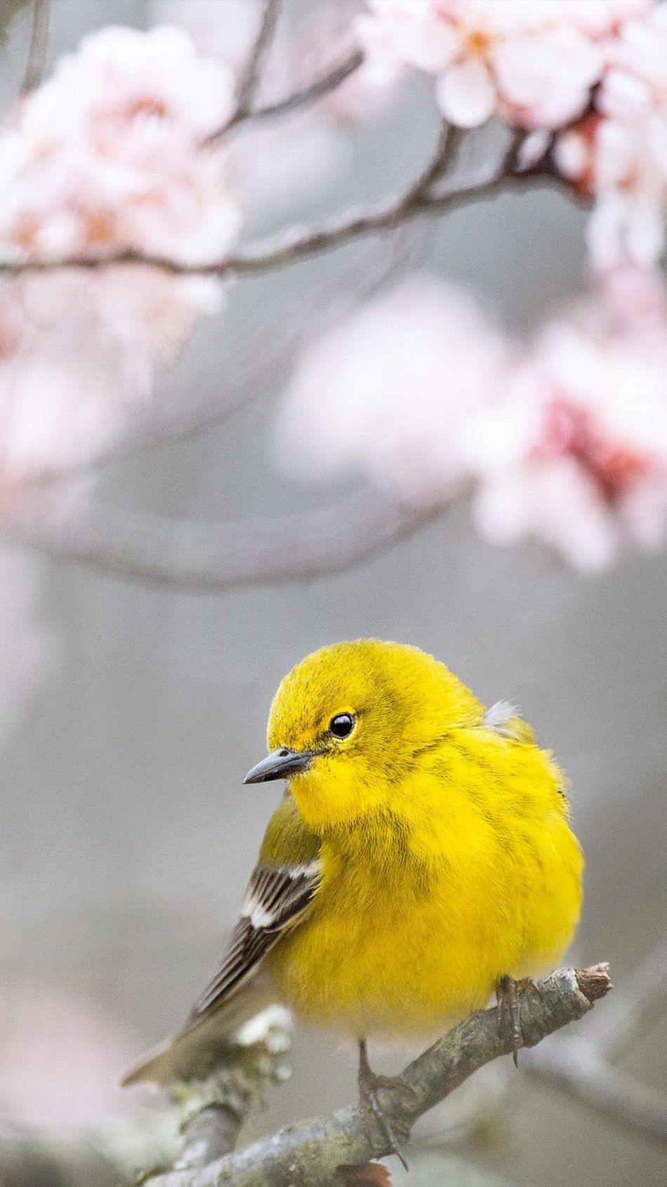 Pine Warbler Yellow Bird Bird Wallpaper Bird Drawings Birds