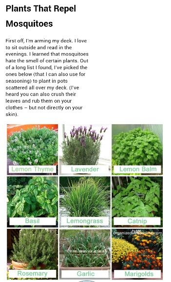 Mosquito Repellent Plants Plant A Few Of These Around Your Deck