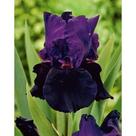 6 98 Garden State Bulb 2 Pack Davy Jones Bearded Iris Lb20133 Item 142096 Model 100609717 Late Spring Flower Garden Plants Planting Bulbs Flowers