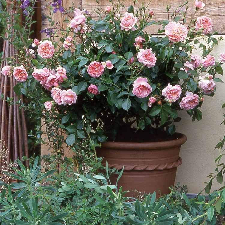 comment cultiver et entretenir un rosier en pot Rosier