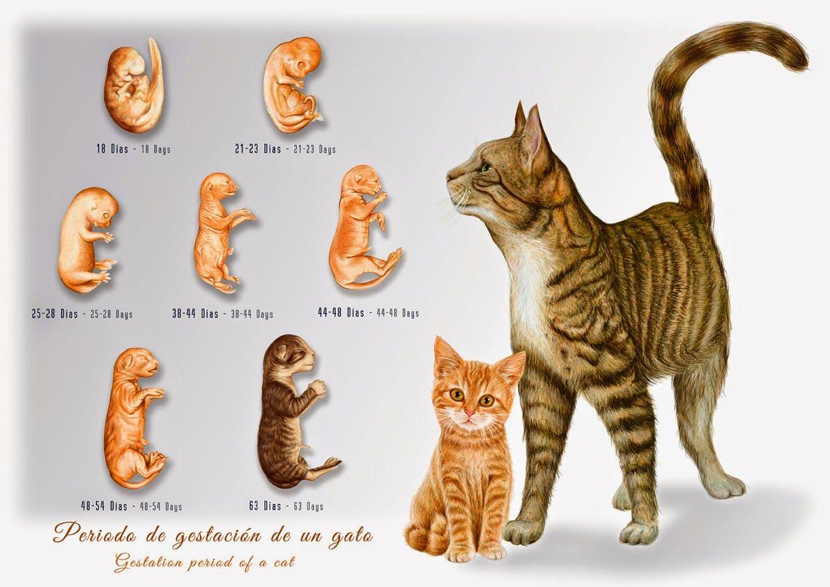 Il Lustraciència José Vicente Santamaría Monsoríu Periodo De Gest Periodo De Gestación Ilustracion Cientifica Gatos