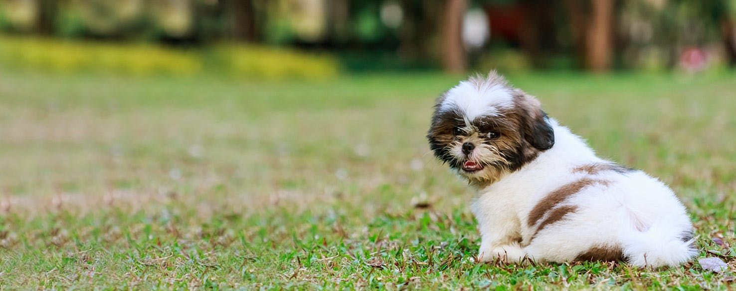 How To Potty Train A Shih Tzu Puppy Dog Training Tips Puppy