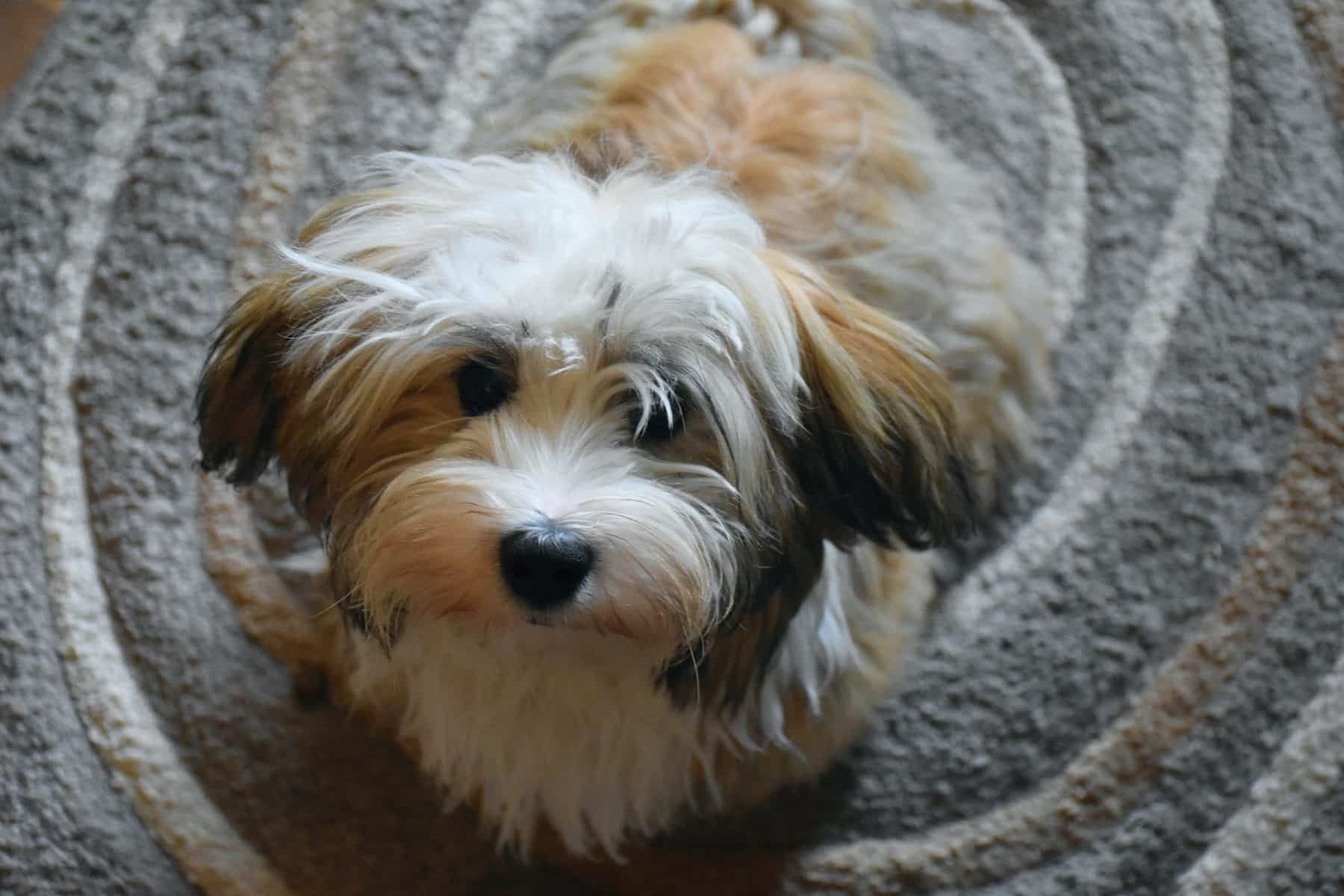 Top 5 Havanese Haircut Styles In 2019 Havanese Dogs Havanese