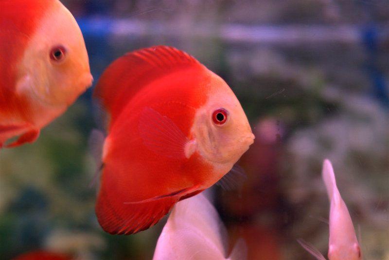 ป กพ นในบอร ด Fish Pom