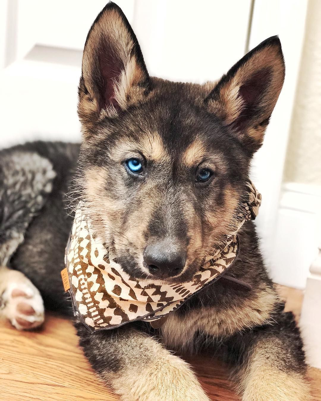 632 Likes 31 Comments Koa Kai Alohakoa On Instagram Baby Blue Eyes Nativeam Native American Indian Dog American Indian Dog Husky Puppy