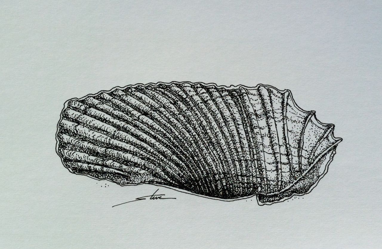 """Theme: Sea Shells - ink drawing; sketch - September 13 - Drawing number for the year #256 - 2014 - see below '#tf sea shells sept' for the archive of this month. """"So much going on with this little wing shell I just had to stop drawing and pronounce it finished."""" - Steve www.thursdayfile.com"""