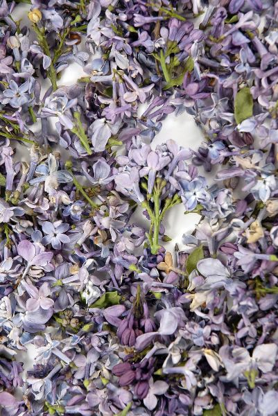 17 99 Sale Price Preserved Lilac Flowers Petals 5 Cups Natural Freeze Dried Petals The Flowers Are 1 X2f 2 Quot Lilac Blossom Lilac Flowers Flowers Petals