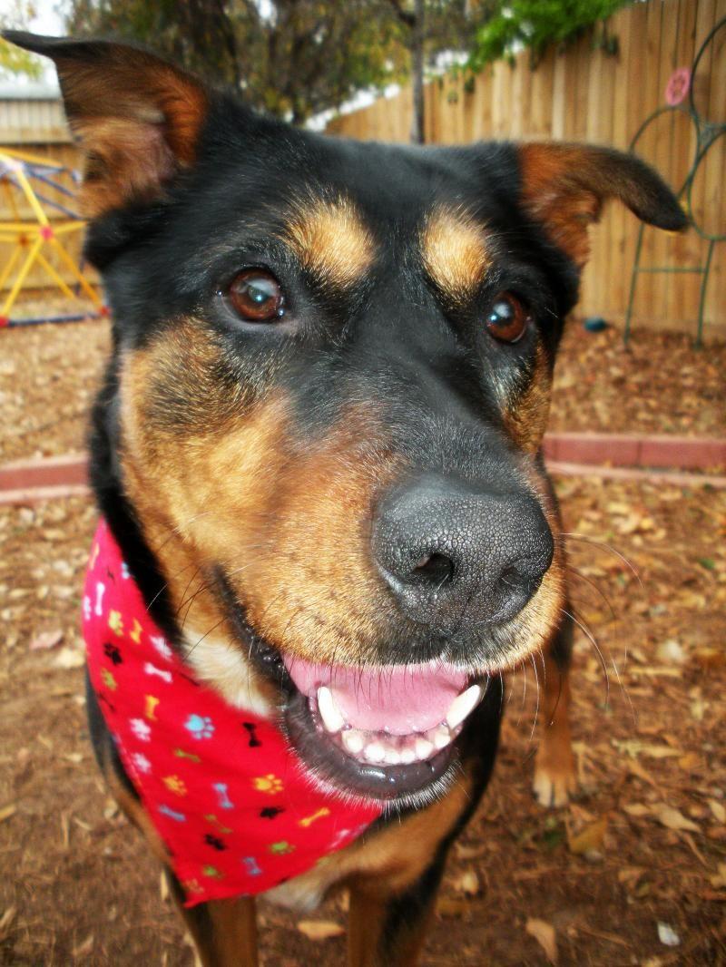 08/29/15Meet Sundance, a Petfinder adoptable Cattle Dog