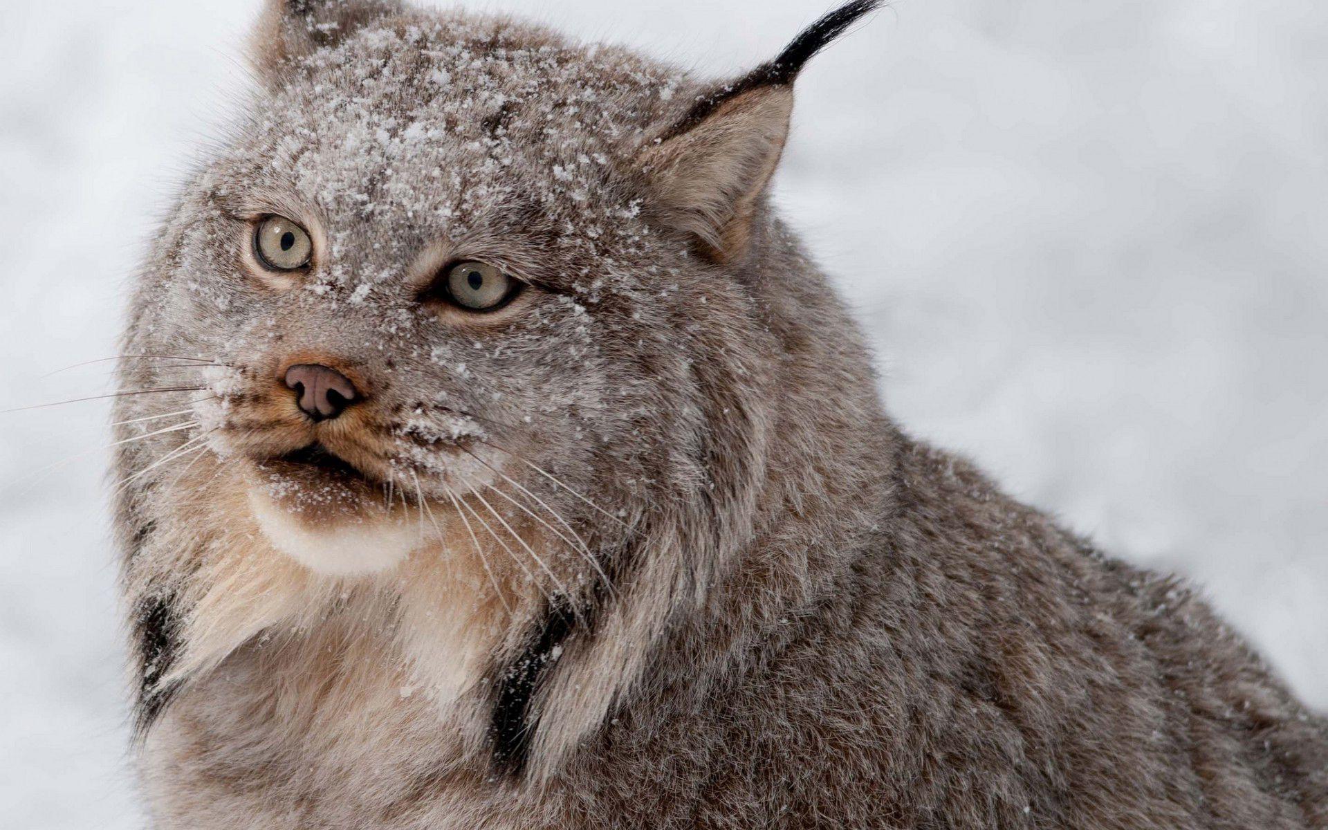 Lynx Wallpaper Wild Cats Lynx Wallpaper