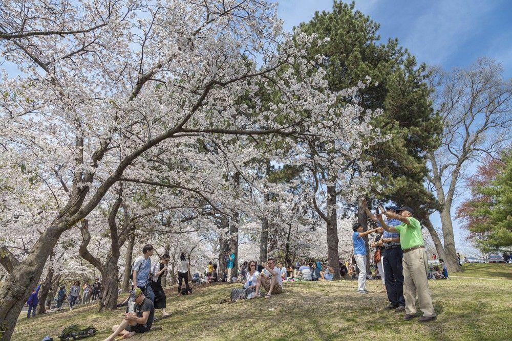 High Park Covered In Cherry Blossoms Sakura Tree Cherry Blossom Blossom