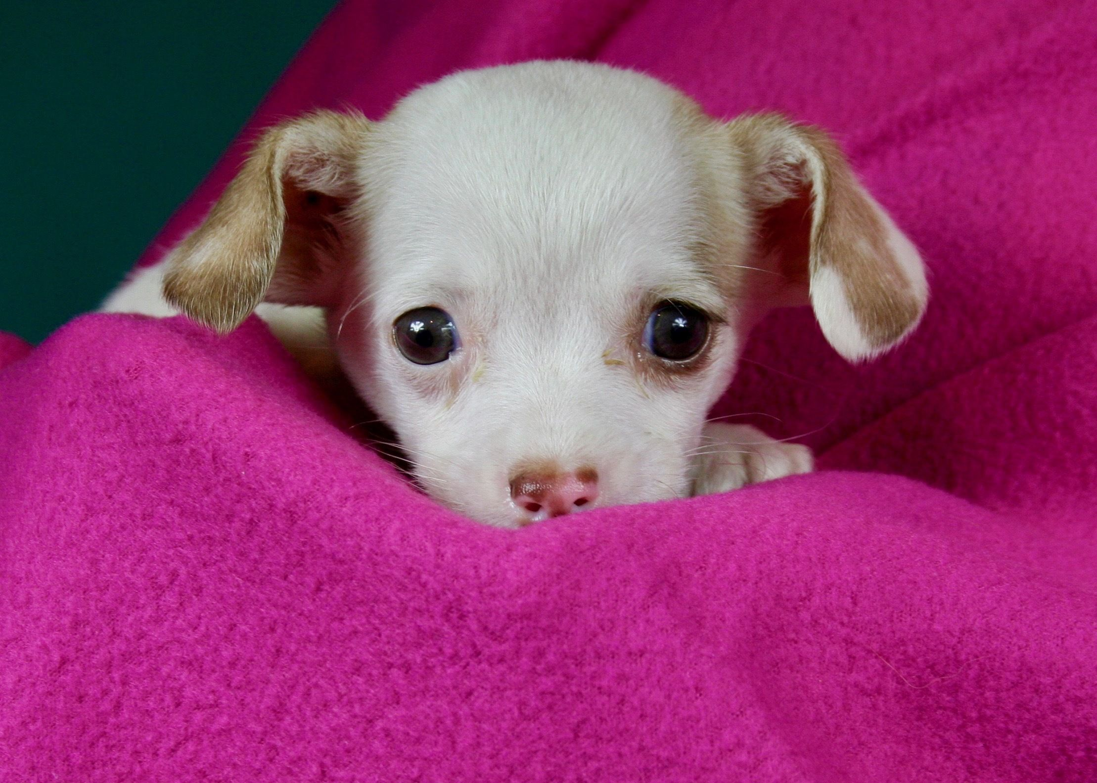 Adopt Calvin On Cute Chihuahua Chihuahua Animal Rescue