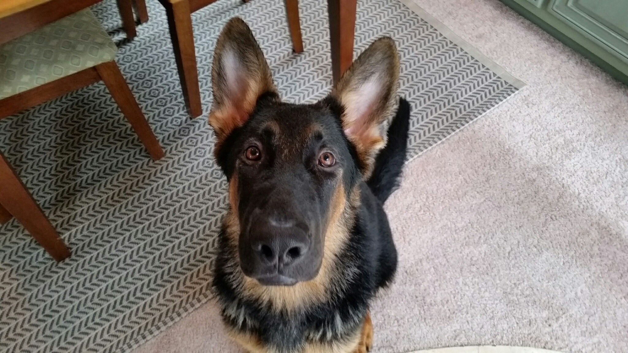 Big Boy Axel 6 Months Old At 73lbs Gsd Puppies Pets Puppies