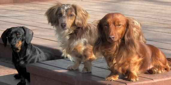 Dachshund Puppies For Sale In Ny Cam S Dachshunds Dachshunds