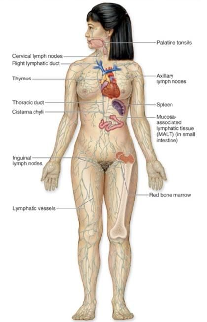 Lymphatic system diagram female anatomy the massage guy lymphatic system diagram female anatomy the massage guy durban ladies residing in or ccuart Image collections