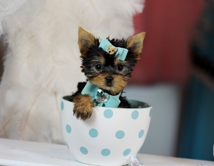 Teacup Yorkies For Sale, Teacup yorkie dogs Florida (With