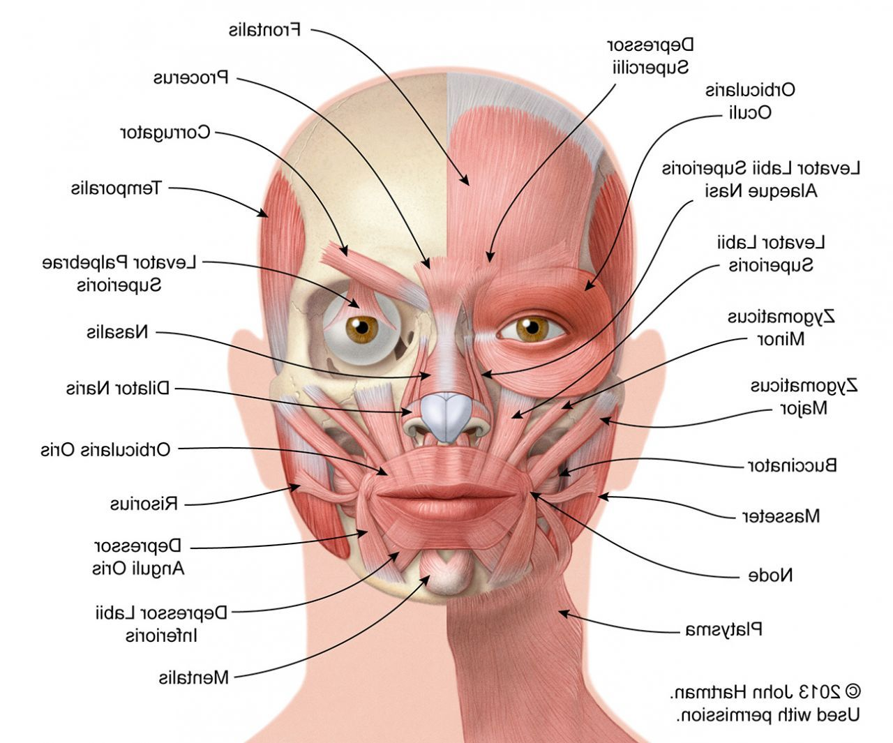 Face Human Body Anatomy Face Muscles Anatomy Muscle Anatomy Face Anatomy