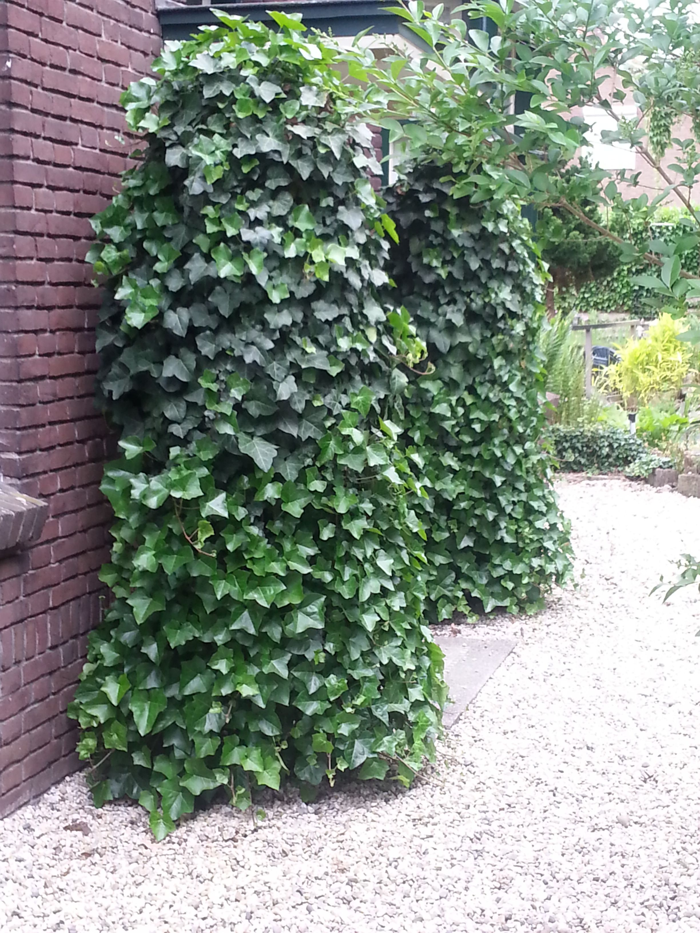 The evergreen Hedera, one of the most suitable Climbing