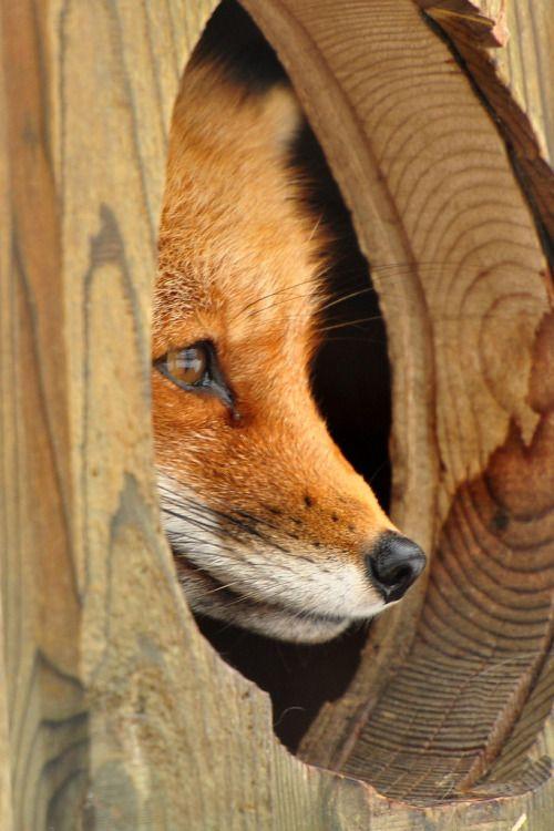 "llbwwb: "" Hello Beautiful Friends:)) The Red Fox (by affinity579) """