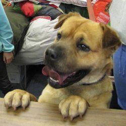 Adopt Theo On Dogs Animal Shelter Labrador Retriever