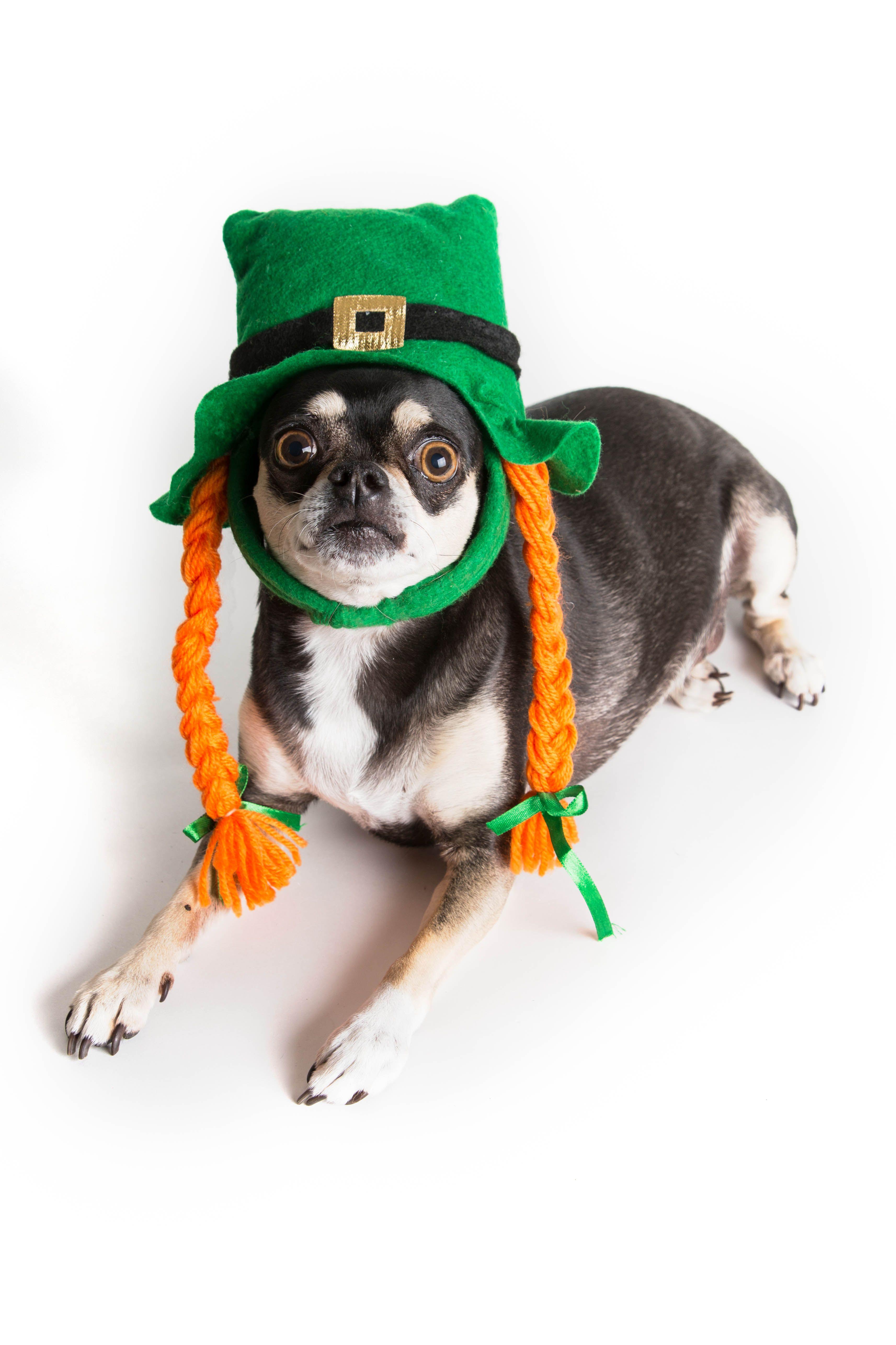 St Patrick S Day Chihuahua Dressed In Irish Hat Stpatricksday