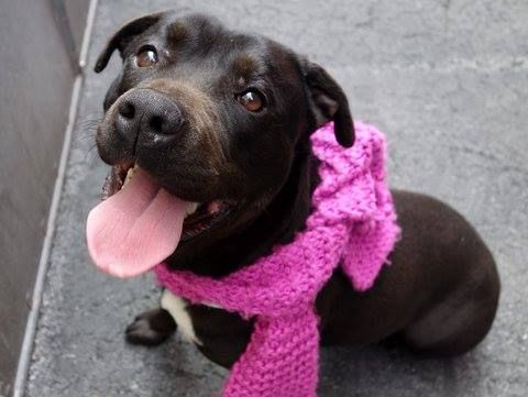 SAFE --- Manhattan Center    PENNY - A0997399    FEMALE, BLACK / WHITE, PIT BULL MIX, 3 yrs  STRAY - STRAY WAIT, NO HOLD  Reason STRAY   Intake condition NONE Intake Date 04/21/2014, From NY 11212, DueOut Date 04/24/2014,   https://www.facebook.com/photo.php?fbid=791641474182067&set=a.617938651552351.1073741868.152876678058553&type=3&permPage=1 ************scared**************