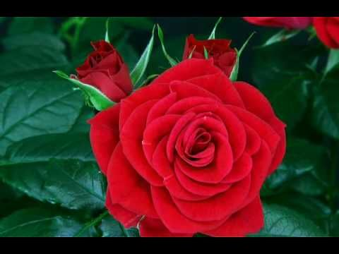 Beautiful ... flower red rose blooming